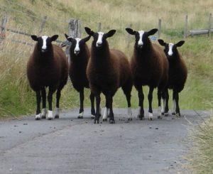 Les moutons Bruxellois