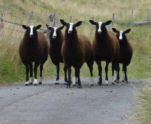 A la rencontre des Moutons Bruxellois