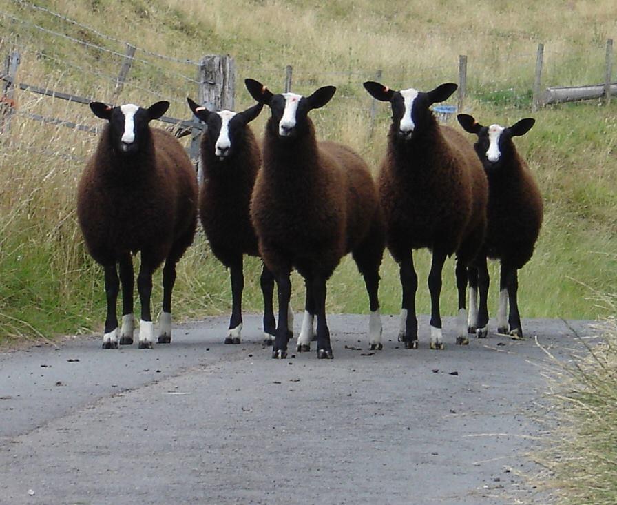 Ontmoet de Brusselse schapen